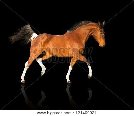 Isolate Of The Piebald Horse On The Black Background