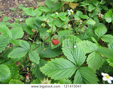 Wild strawberry, Fragaria vesca