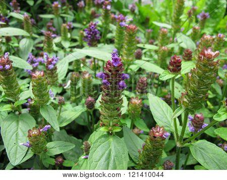 Common self-heal, Prunella vulgaris