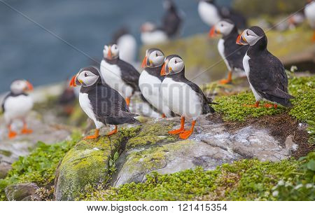 Puffins at the Farne Islands in Northumberland ** Note: Visible grain at 100%, best at smaller sizes