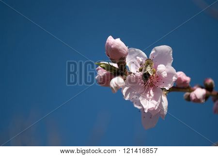 bee on peach flower macro, blue sky