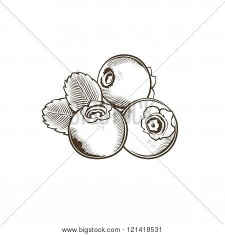 Bilberry in vintage style. Line art vector illustration