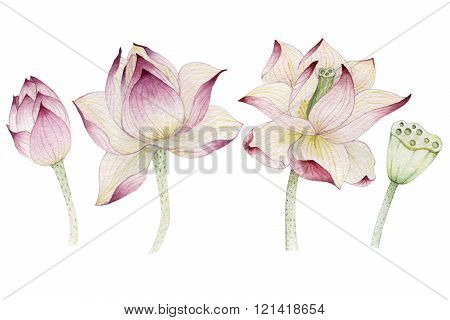 Lotus flowers painted in watercolor. Hand painted.