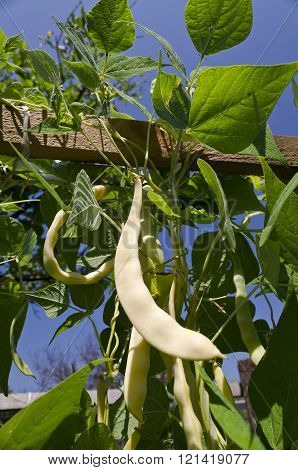 Yellow Bean Growing On Vegetable Bed In The Summer