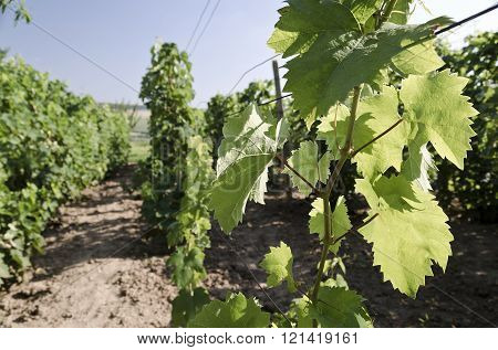 Landscape in the vineyard in the summer Katselovo Bulgaria