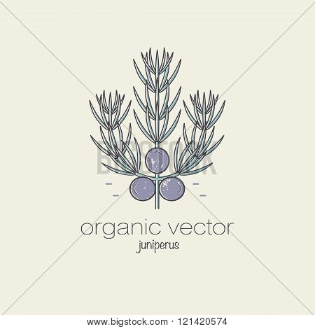 Plant motifs. The plant is juniper. Vector illustration of a plant used in cosmetics medicine and cooking. The plant design for packaging web creation of goods and services. Modern style mono line.
