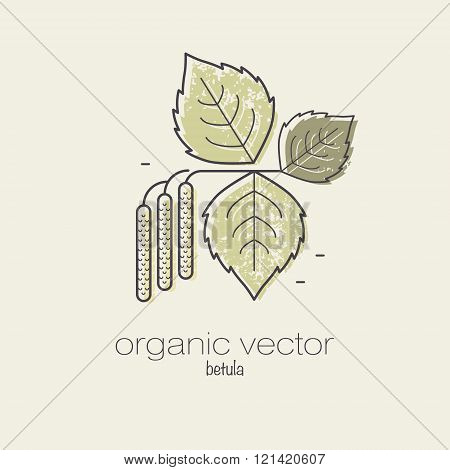 Plant motifs. The plant birch. Vector illustration of a plant used in cosmetics medicine and cooking. The plant design for packaging web creation of goods and services. Modern style mono line.