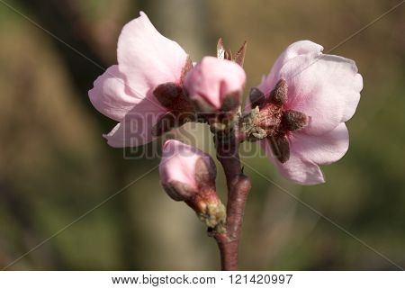 Peach Buds And Flowers