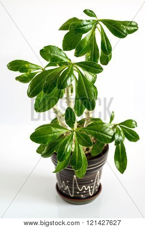 Euphorbia room in a pot on a light background