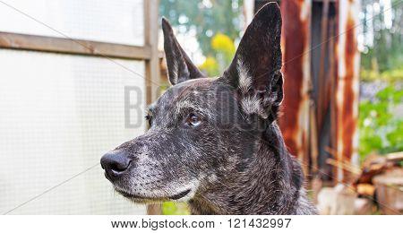 Grey Shepherd Looks Into The Distance