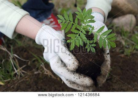 Planting Flower Seedlings, Closeup