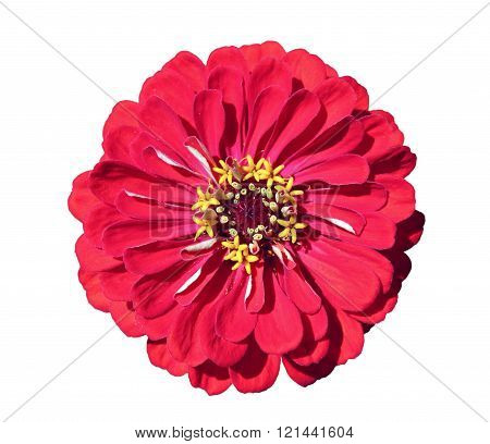 Bright Beautiful Red Zinnia Flower