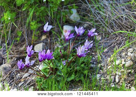 Bunch Of Wild Cyclamens