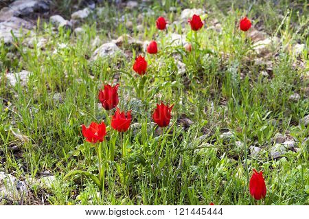 Wild tulips on a meadow