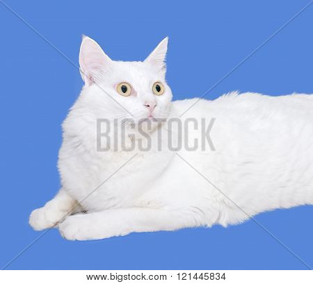 White Cat Is Looking Forward. Solated On Blue Background With Copy Space