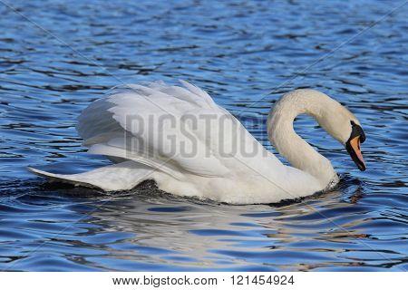 Pretty Swan