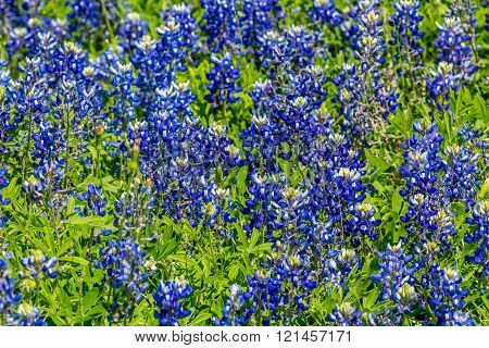 Closeup of a Beautiful Cluster of the Famous Texas Bluebonnet (Lupinus texensis) Wildflowers. An Amazing Display at Muleshoe Bend in Texas.