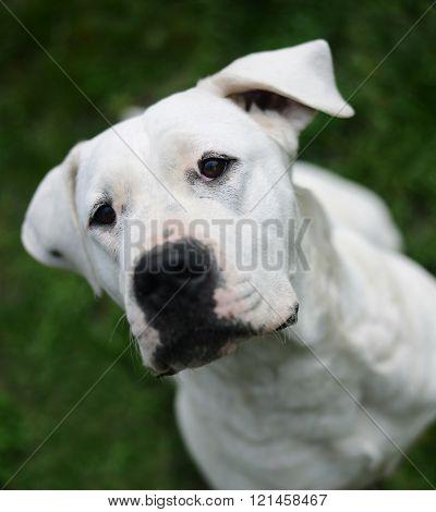 White dog laying on grass, close up