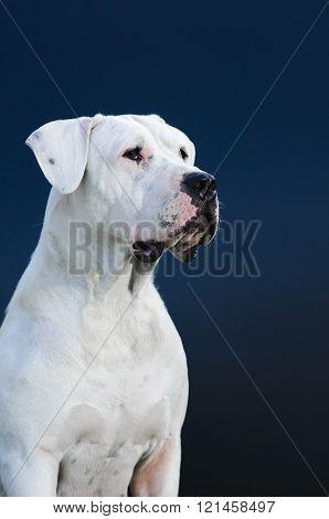 Argentinian Dog ,white dog posing in studio