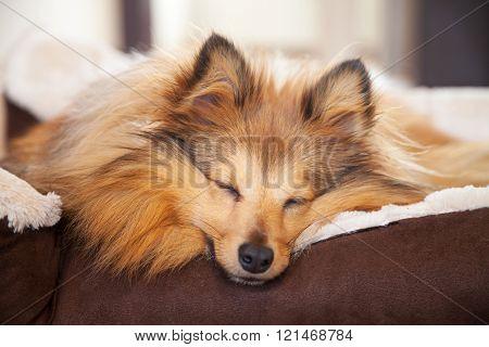 Shelty Dog Sleeps In Dog Basket