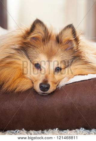 shelty dog lies in dog basket and looks to the camera