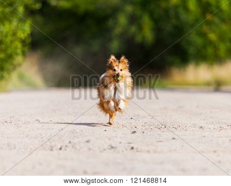 running shetland sheepdog with ball in mouth
