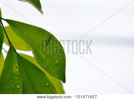 mosquito on orange Jessamine leaf