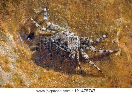 Mediterranean crab