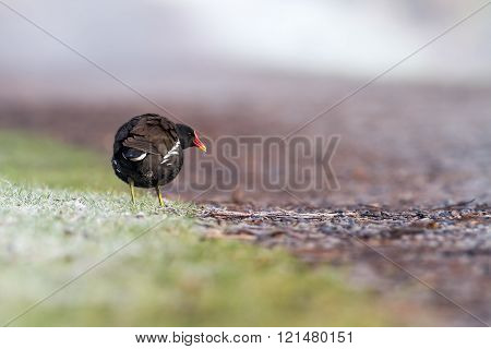 Moorhen On The Path
