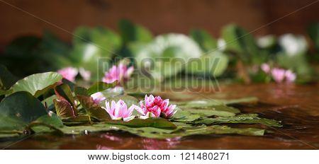 waterlily wildflower red lotus