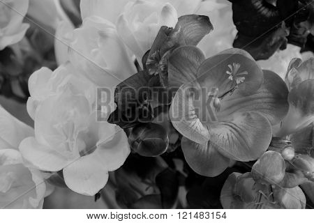 Black and white freesia flowers on bright background