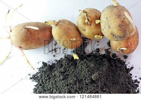 Sprouted Potatoes And Earth
