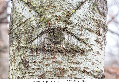 One eyed white poplar trunk in the forest