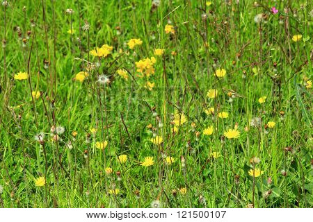 Meadow Flowers Of Galium Verum And Sonchus Arvensis