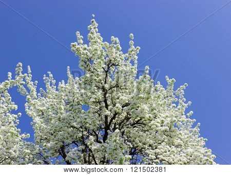 Flowering Pear Against The Sky