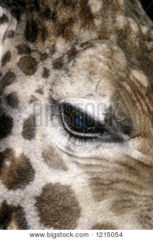 Close Up Of Giraffe Eye