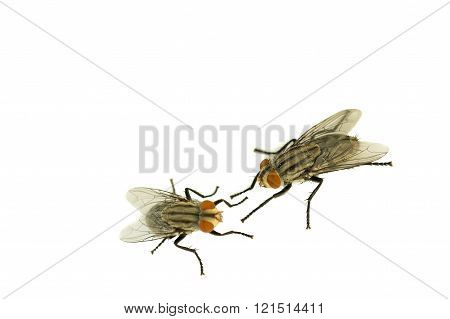 Two Housefly On White Isolated Background