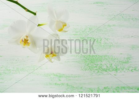 White Phalaenopsis Orchids Branch