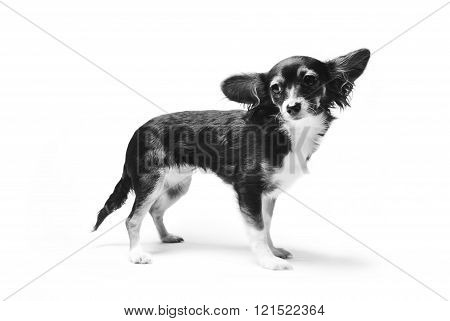 toy terrier dog isolated on white background. black and white photo