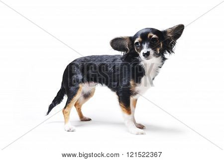 toy terrier dog isolated on white background