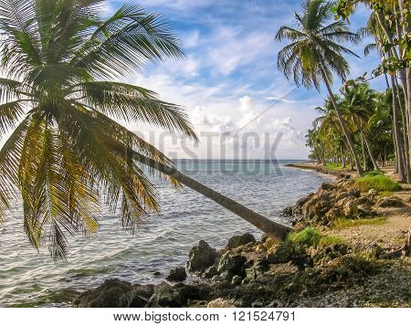 Tropical coconut palms Guadeloupe