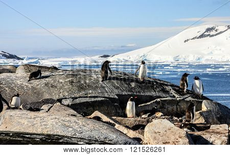 Group of gentoo penguins or pygoscellis papua are staying and sitting on the grey rock in Antarctica