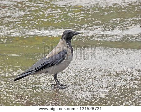 Hooded Crow In The Rain