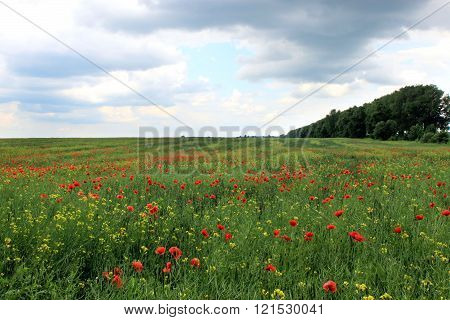 field with red poppies