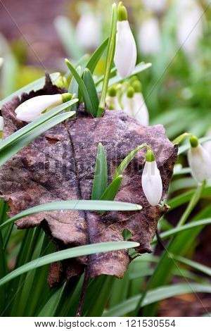 Young Snowdrops Sprouted Through An Old Fallen Leaves..nothing Is Impossible.