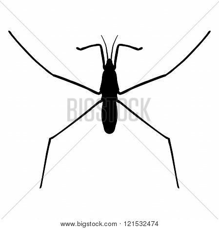 insect in magnifier.water strider. Gerridae. GERRIS LACUSTRIS Sketch of water stride. hand-drawnwate