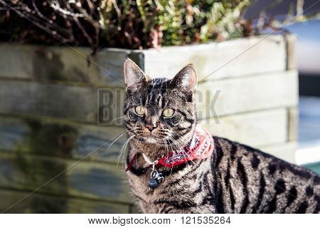 Alert Tabby On Roof Looking Towards Camera.