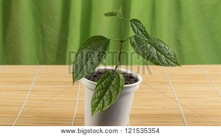 Young Plant In The Cup Stands On A Bamboo Mat.