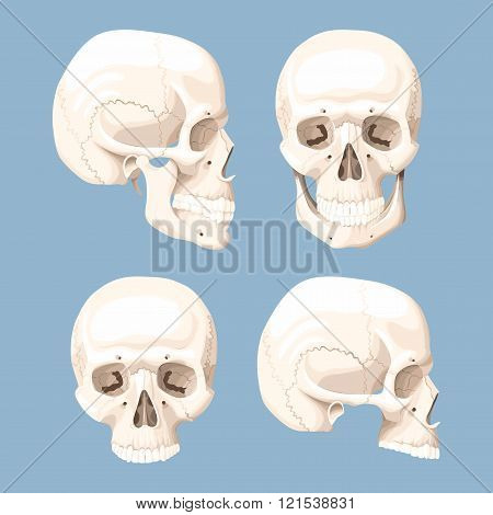 Set of human skulls