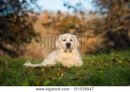 golden retriever dog lying outdoors in spring